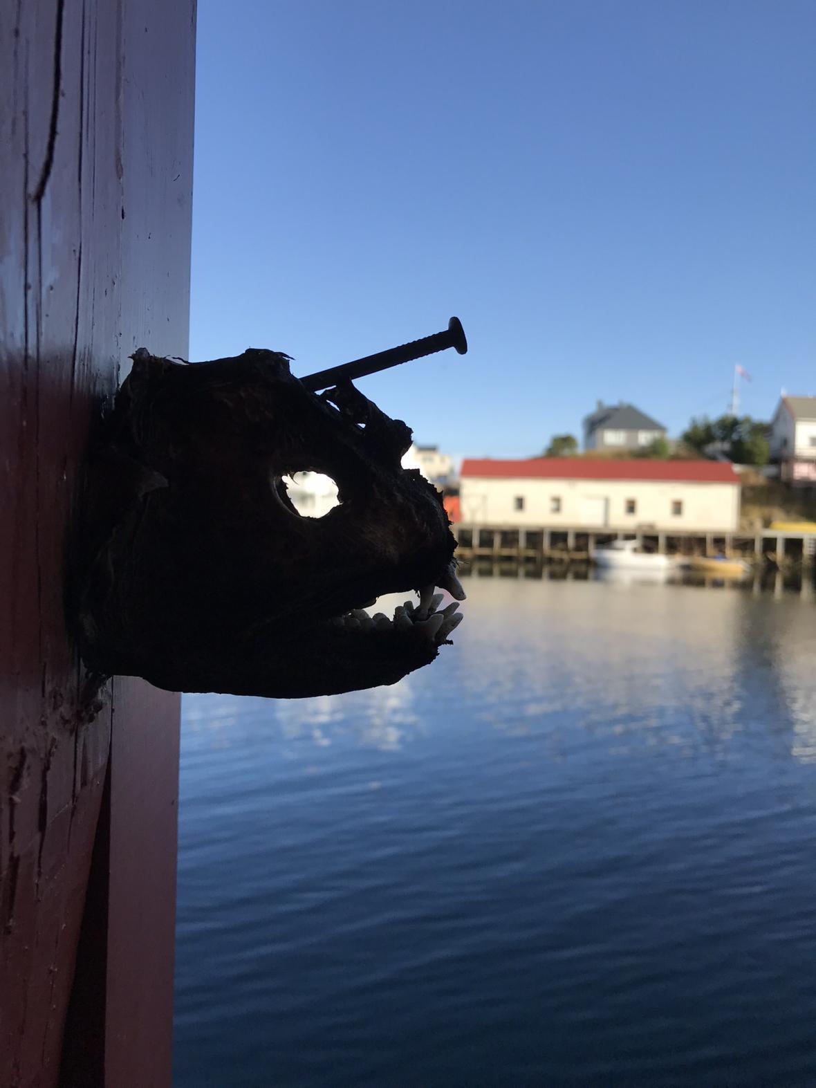 Nabodnutá rybí hlava v Henningsvaeru