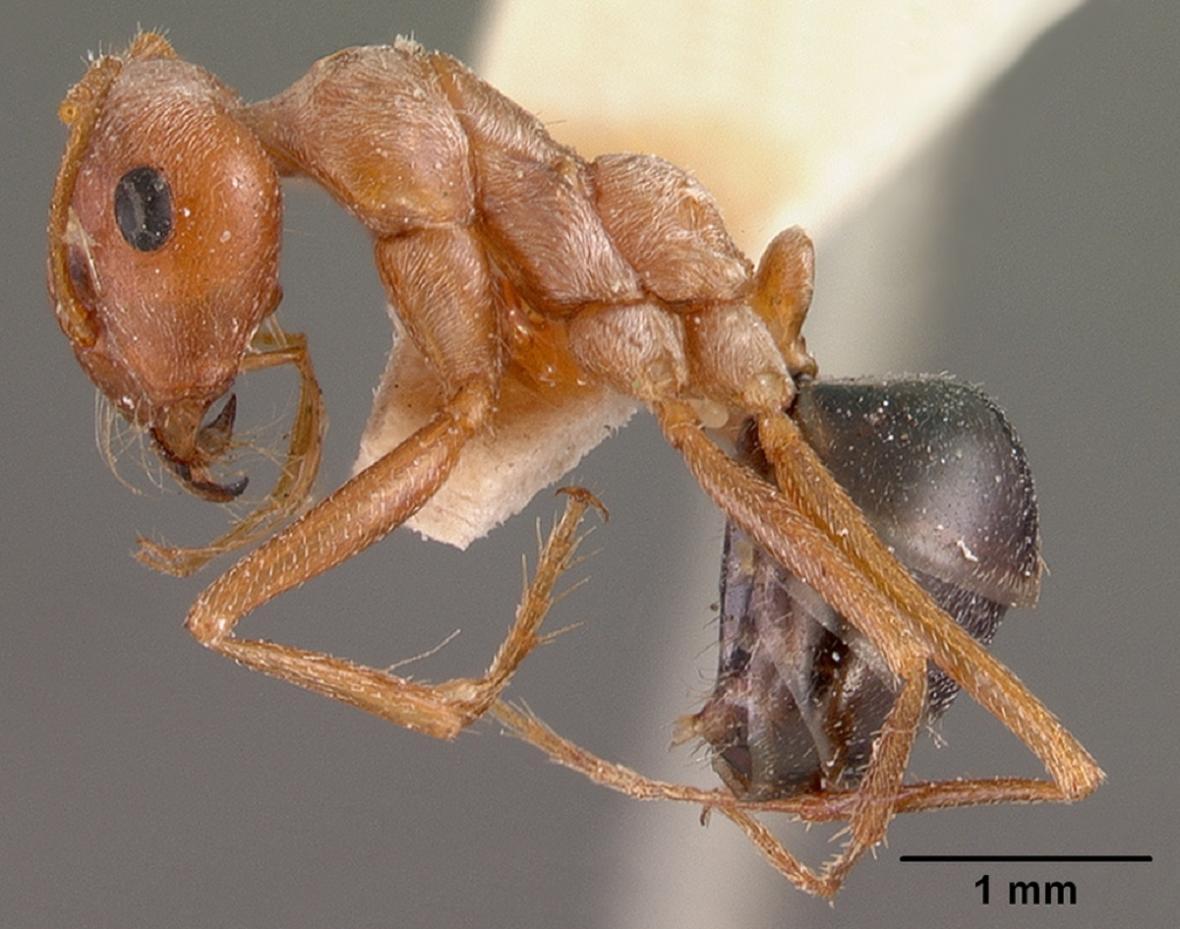 Cataglyphis bombycina