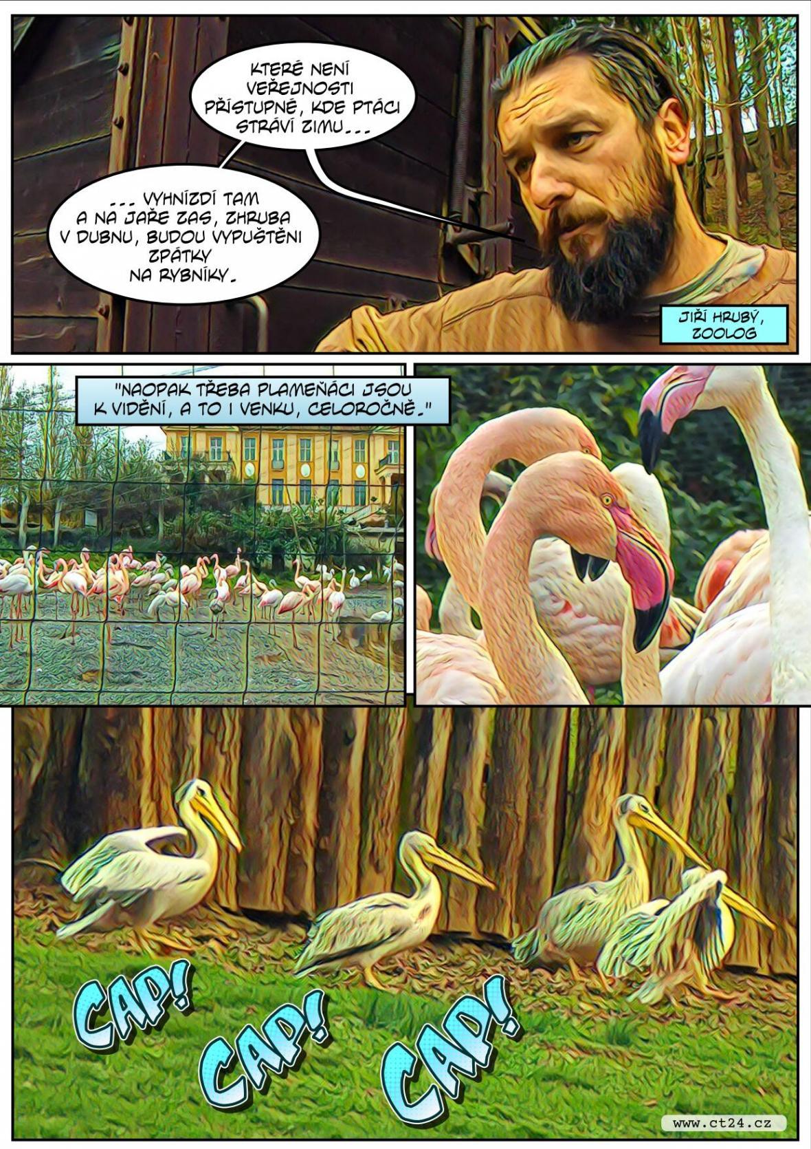 Safari ve Dvoře Králové se připravuje na zimu. Náročný odchyt čekal i pelikány