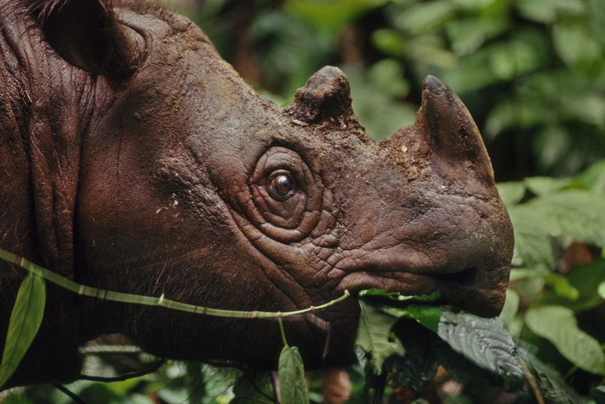 Nosorožec sumaterský