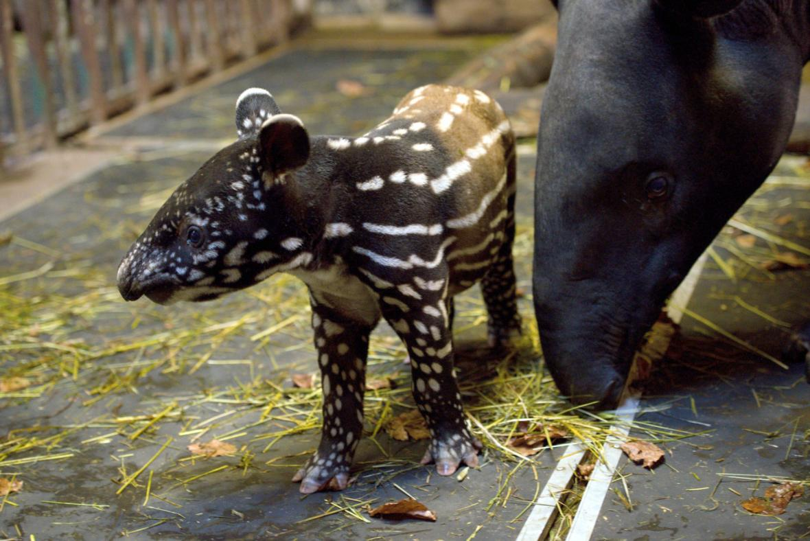 Do zlínské zoo se narodilo mládě tapíra