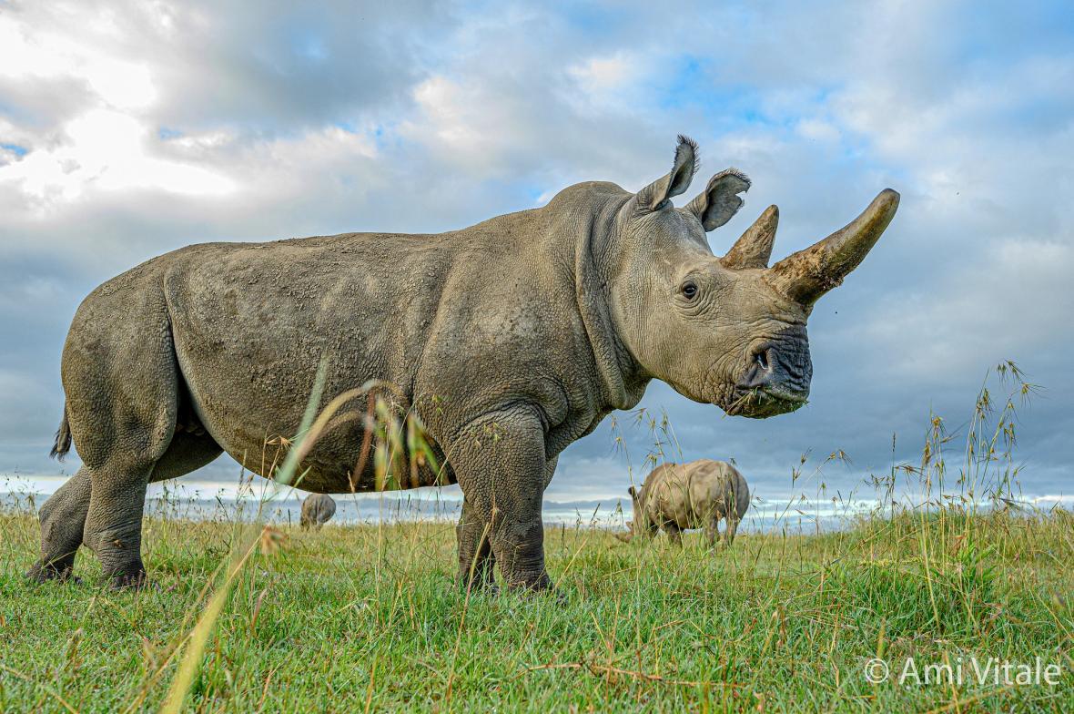 Mise za záchranu nosorožce bílého severního