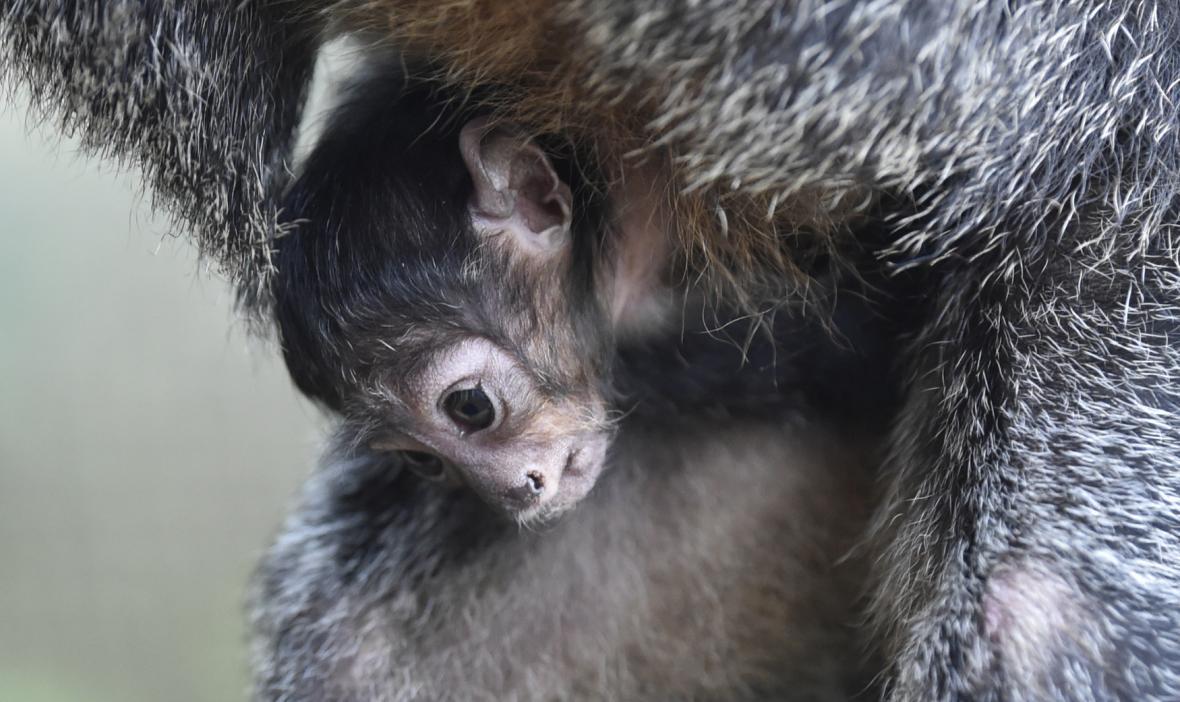 Ve zlínské zoo se narodilo mládě chvostana bělolícího