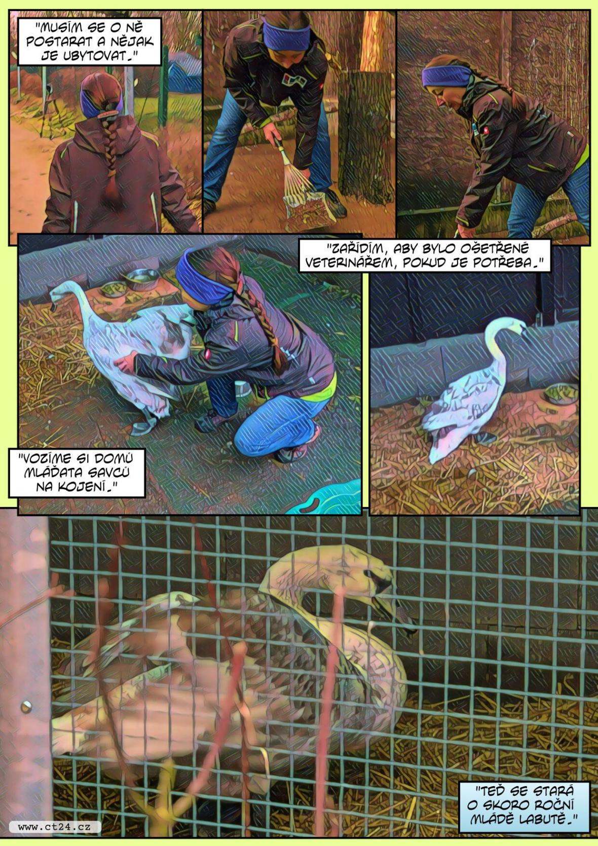 Unikátní operace poraněné labutě. Záchranná stanice Archa v Liberci pomáhá zvířatům