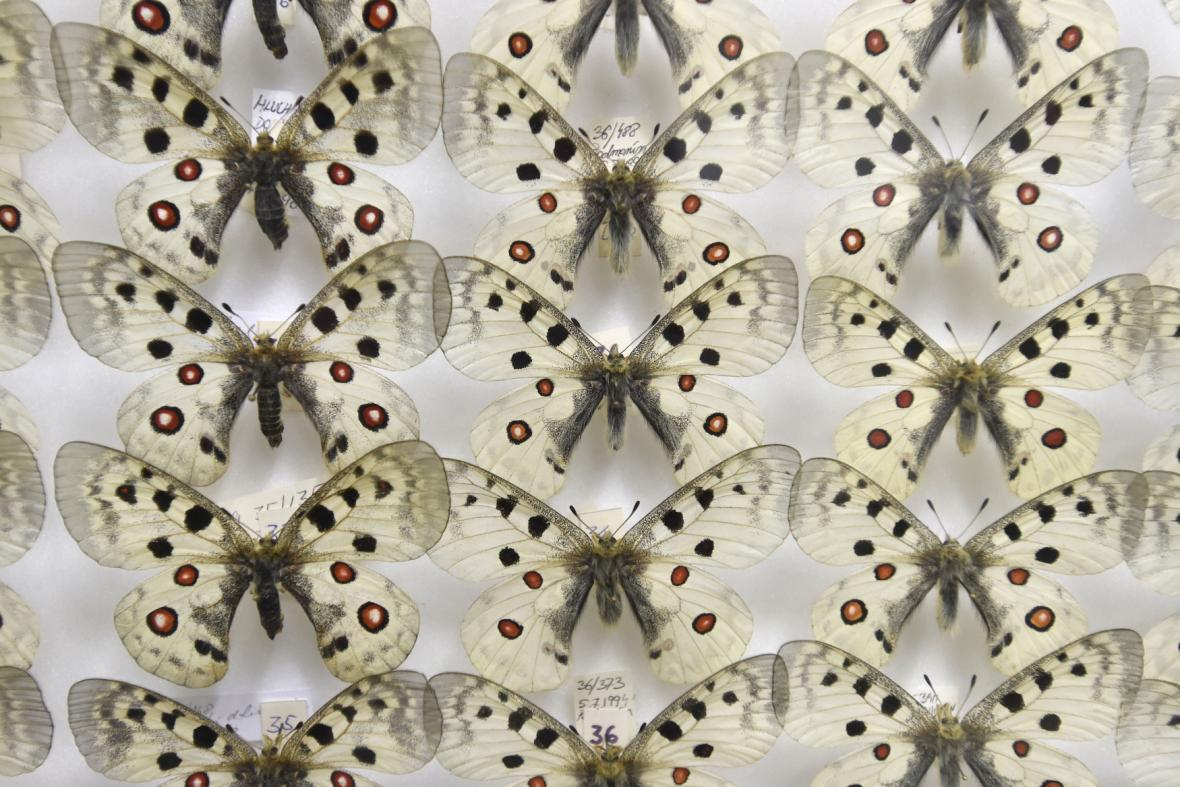 Při domovní prohlídce objevili kriminalisté kriticky chráněné druhy motýlů