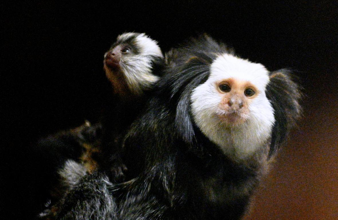 Brněnská zoo odchovala mláďata kosmanů běločelých