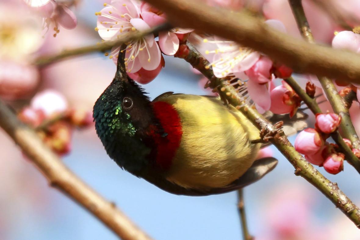 Sakury kvetou po celém světě