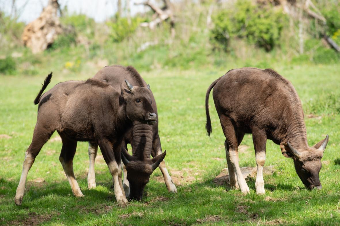 Do zlínské zoo přicestovali gauři indičtí