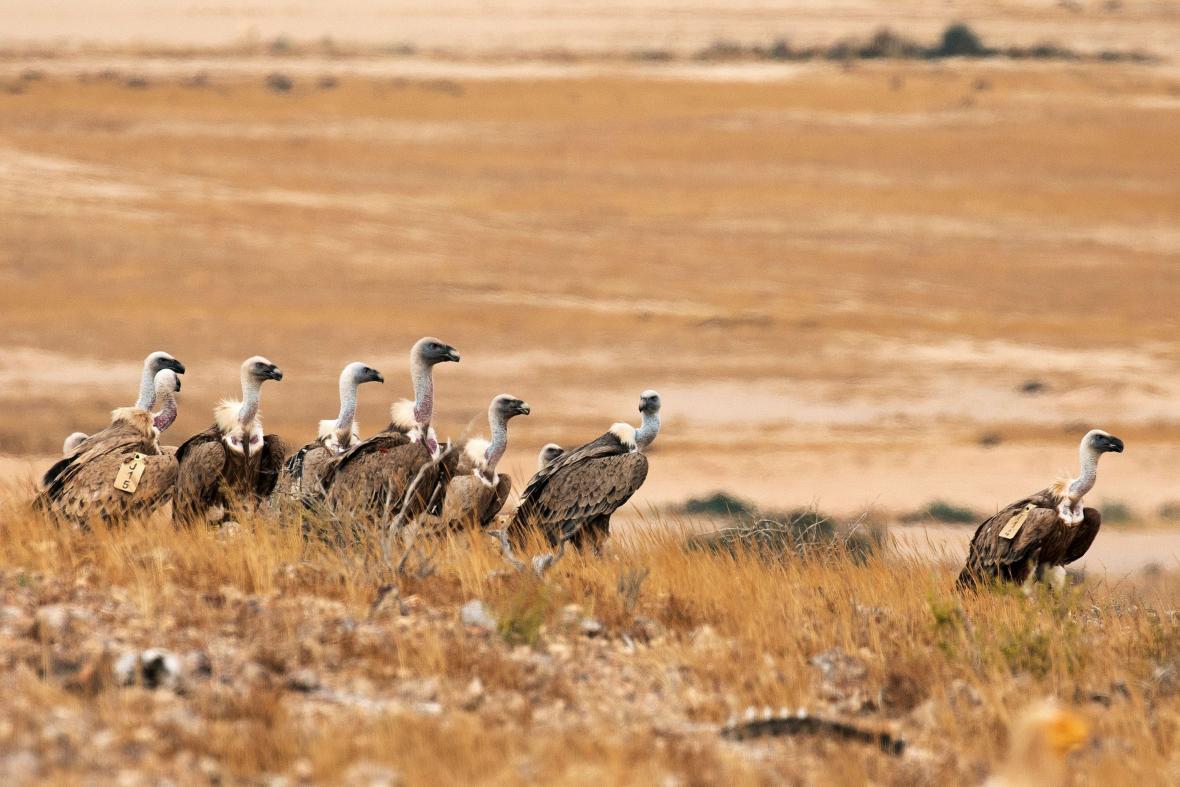 Izraelci pracují na záchraně supů bělohlavých a vrací je zpět do přírody