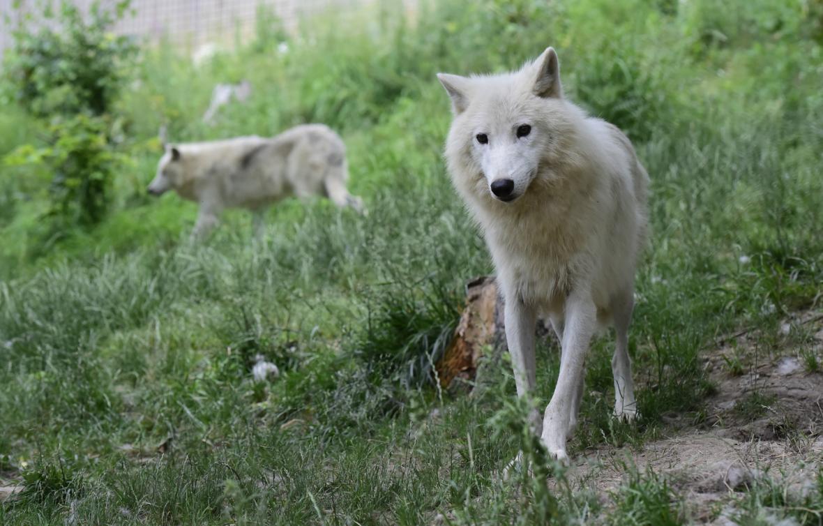Nový vlčí výběh v olomoucké zoo