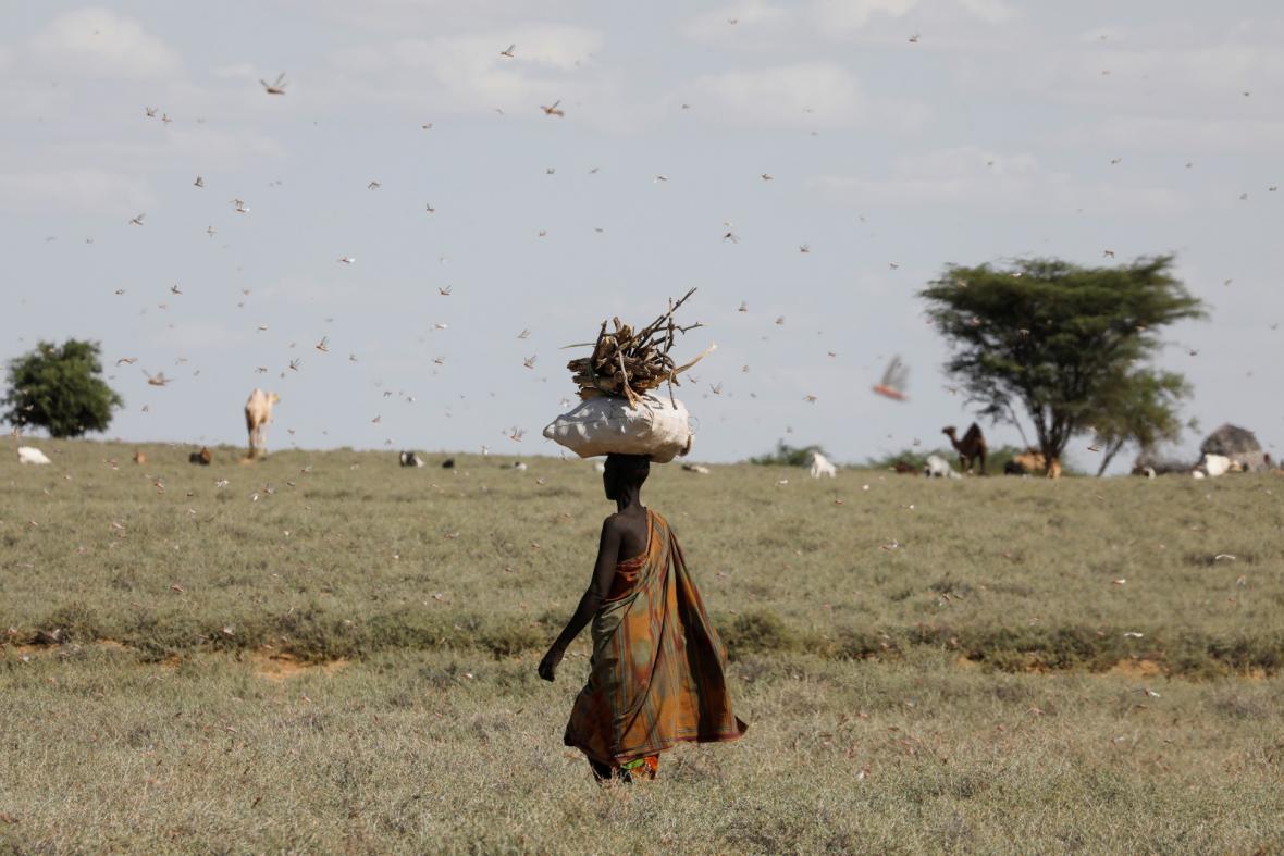 Invaze sarančat zachvátila sever Keni. Fotografie ukazují situaci v oblasti zavné Turkana  pocházejé
