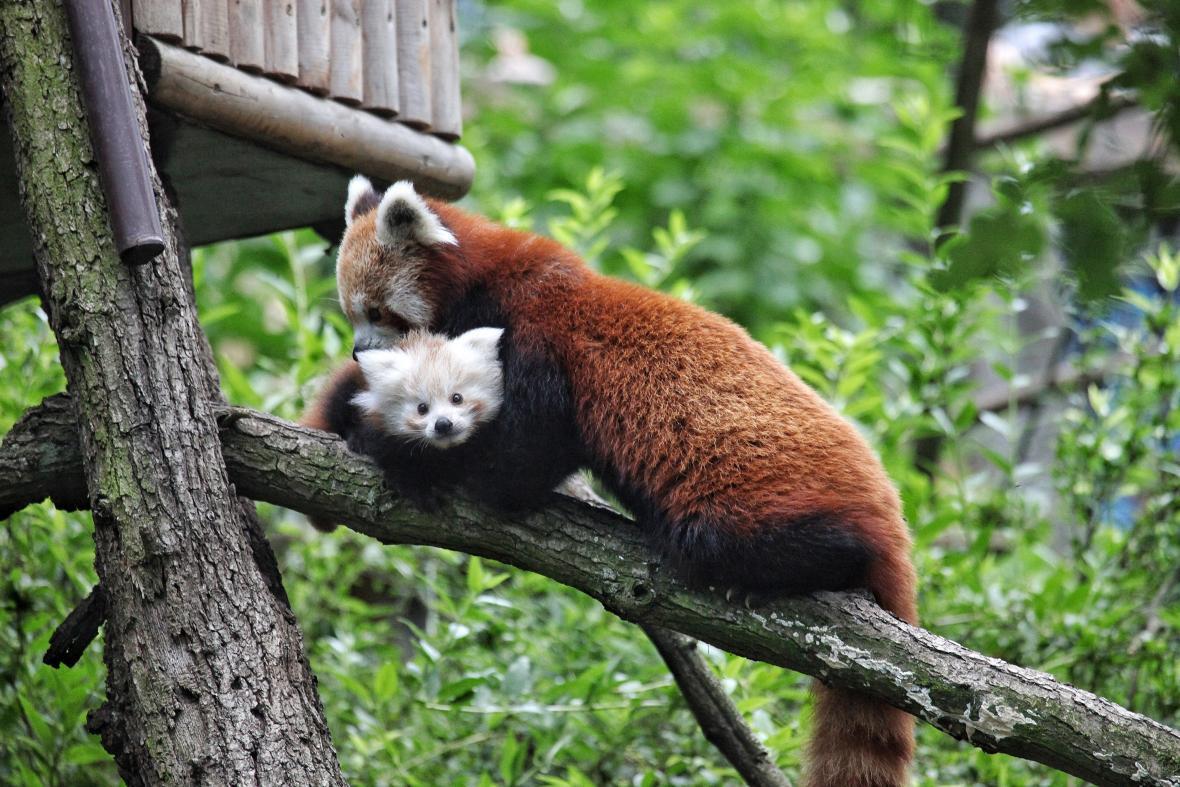 Mládě pandy červené v brněnské zoo