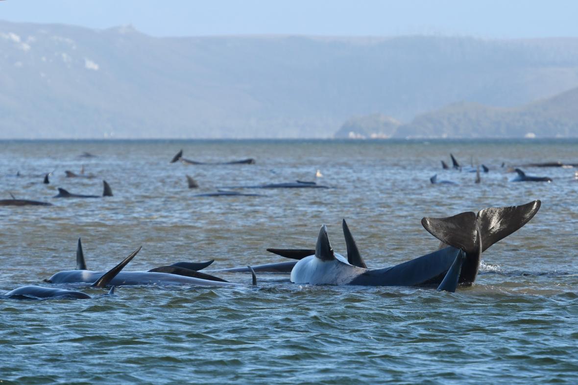 Záchranáři se snaží osvobodit 270 velryb z mělkého zálivu v severozápadní částí Tasmánie