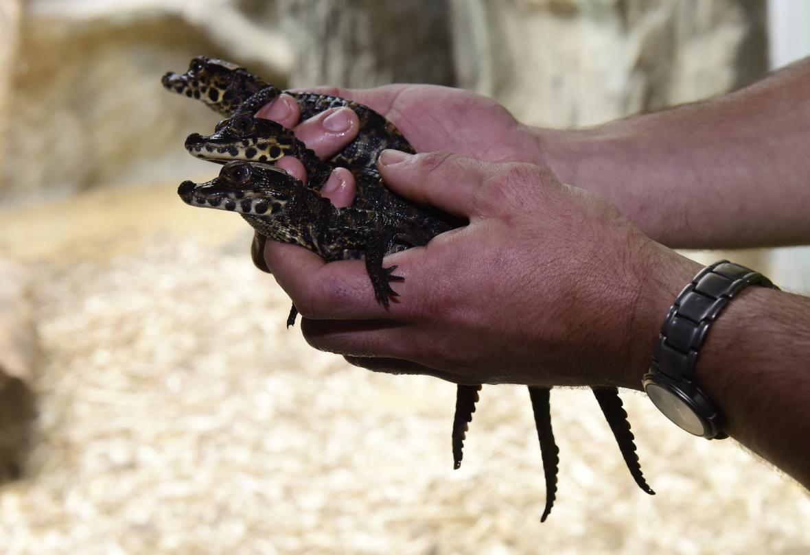 V olomoucké zoo odchovali krokodýlí mláďata