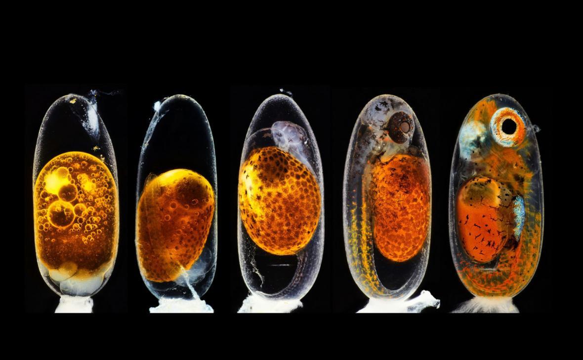 2. místo: Daniel Knop, embryo rybky klauna