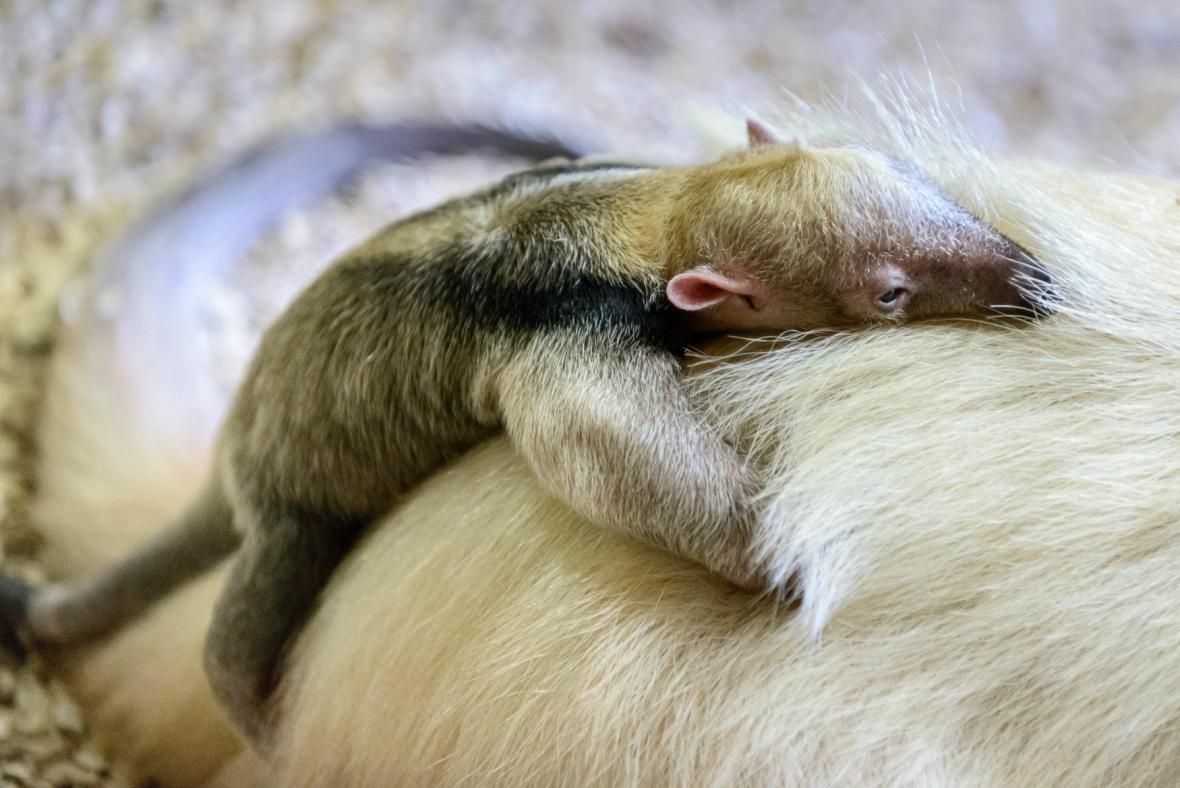 Mládě mravenečníka čtyřprstého s matkou