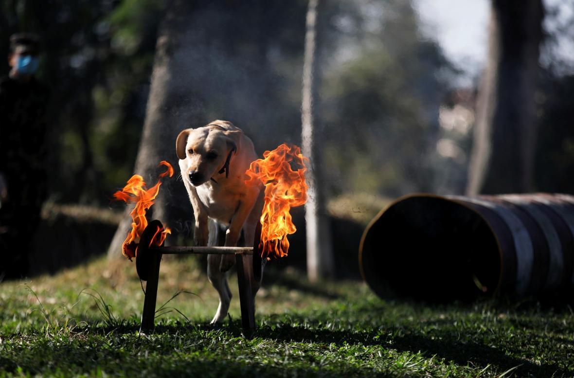 Přehlídka umění psů nepálské policie během hinduistického svátku Tihar v Bhaktapuru