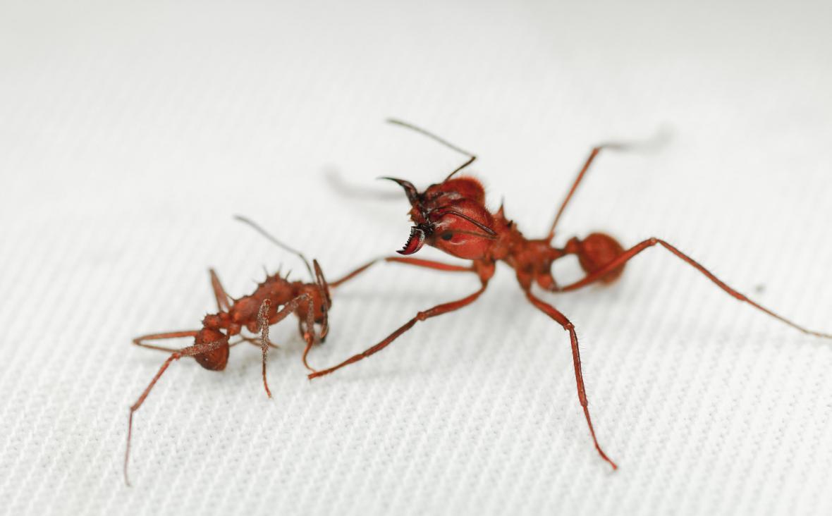 Mravenci  Acromyrmex (vlevo) jsou menší než mravenci Atta. Chrání je ale extrémně pevná biominerální brnění