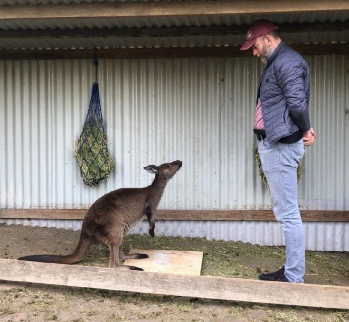 Interakce klokana  člověkem