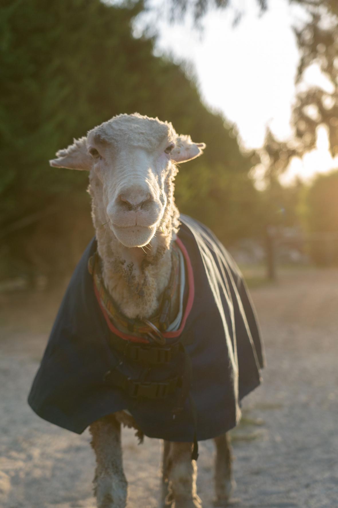 Australští záchranáři zachránili ovci Baarack. Ze zanedbaného zvířete ostříhali přes 35 kilogramů vlny