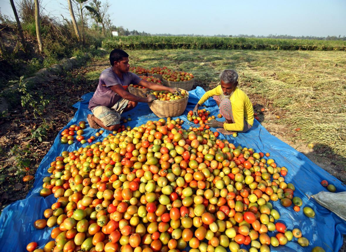 Sběr rajčat v Dhace v Bangladéši