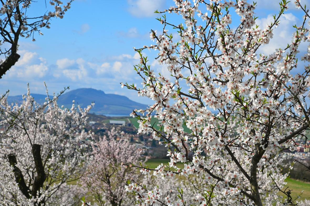 V mandloňových sadech na okraji jihomoravského města Hustopeče vzniká nové arboretum