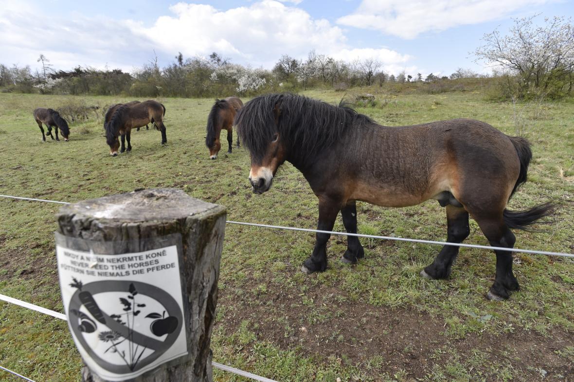 Divocí koně v Národním parku Podyjí na Znojemsku