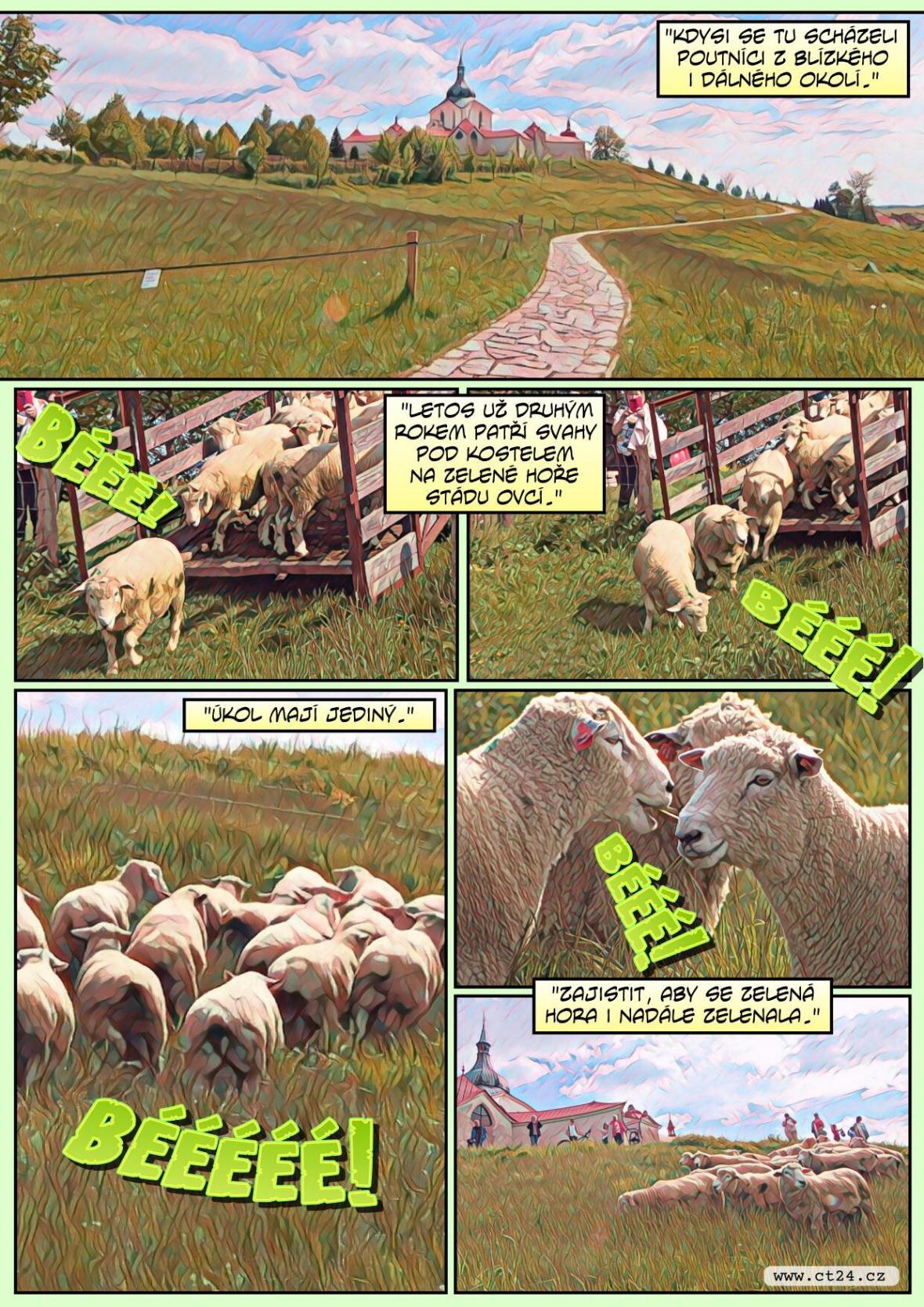 Na Zelenou horu se vrátily ovce. Mají pomoci se spásáním trávy i lákáním turistů