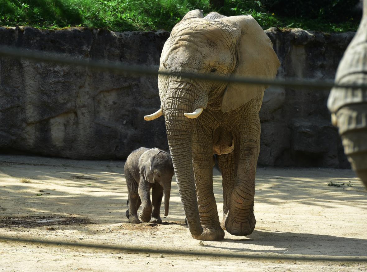 Mládě ze zlínské zoo je prvním slonem africkým narozeným v Česku
