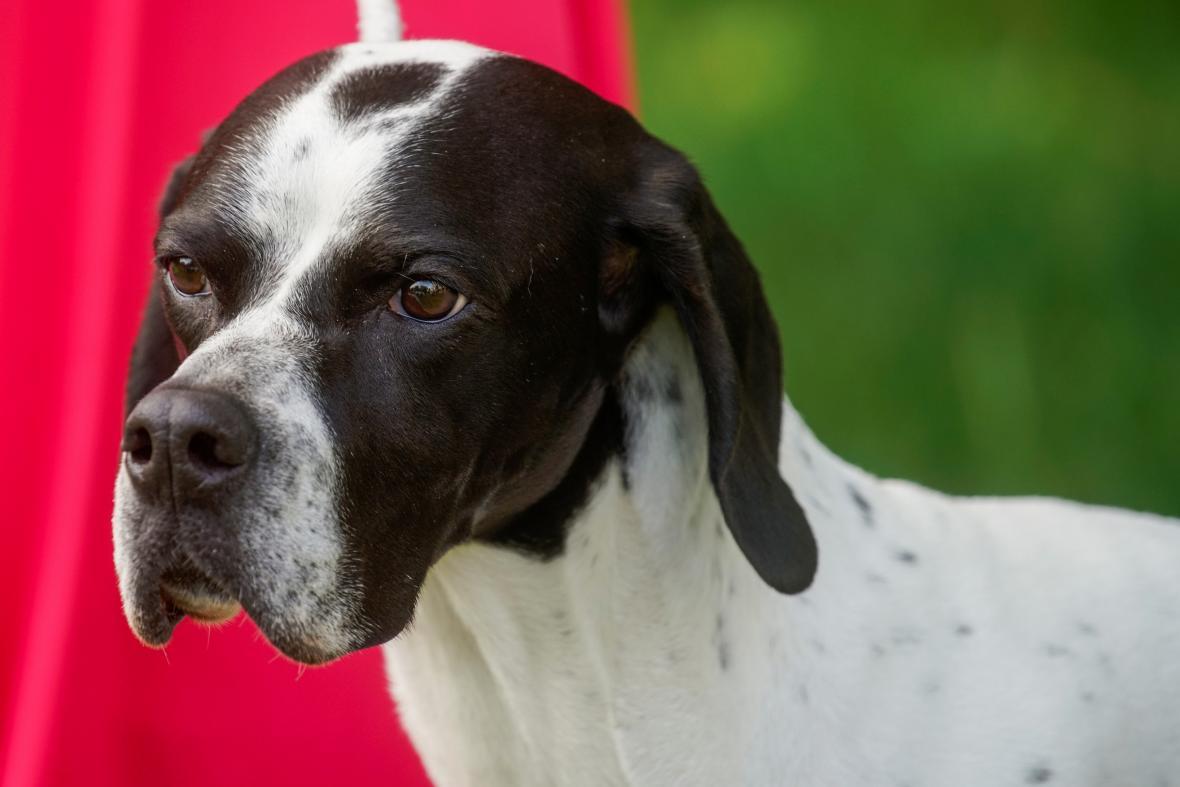 Jedna z nejstarších přehlídek psů na světě pořádaná klubem Westminster Kennel Club Dog našla nové místo v zahradách gotického usedlosti zvané Lyndhurst Mansion