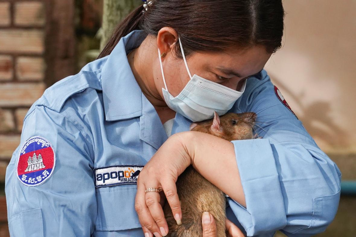 Kambodža nasadila novou generaci krysích rekrutů, aby objevili nášlapné miny v rámci snahy o odminování území
