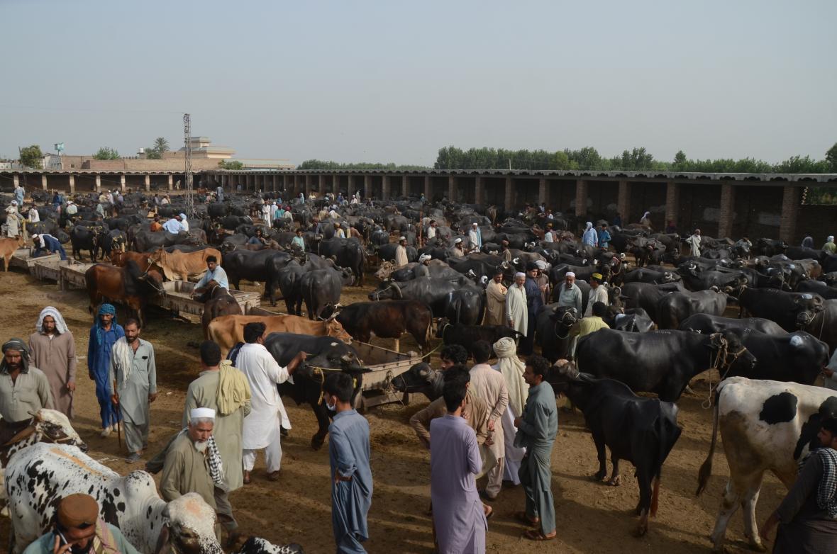 Největší trh s dobytek v pakistánském Péšávaru se připravuje na náboženský Svátek oběti