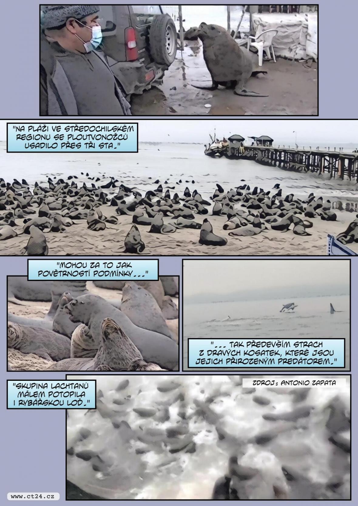 Stovky lachtanů obsadily pláže v Chile