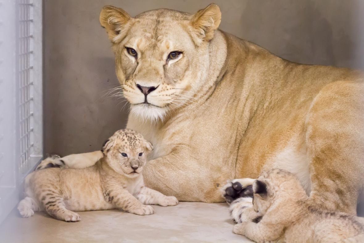 Lvíčata v Safari Parku Dvůr Králové