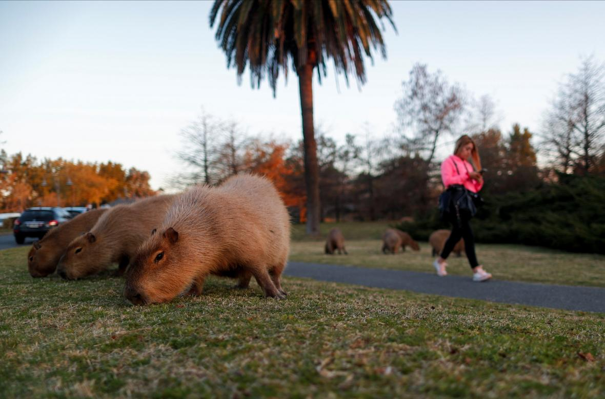 Kapybary se ve vracejí do svého původního prostředí v okrese Nordelta, který se nachází na severu Tigre Partido v Buenos Aires. Na původních mokřadech dnes stojí luxusní čtvrť