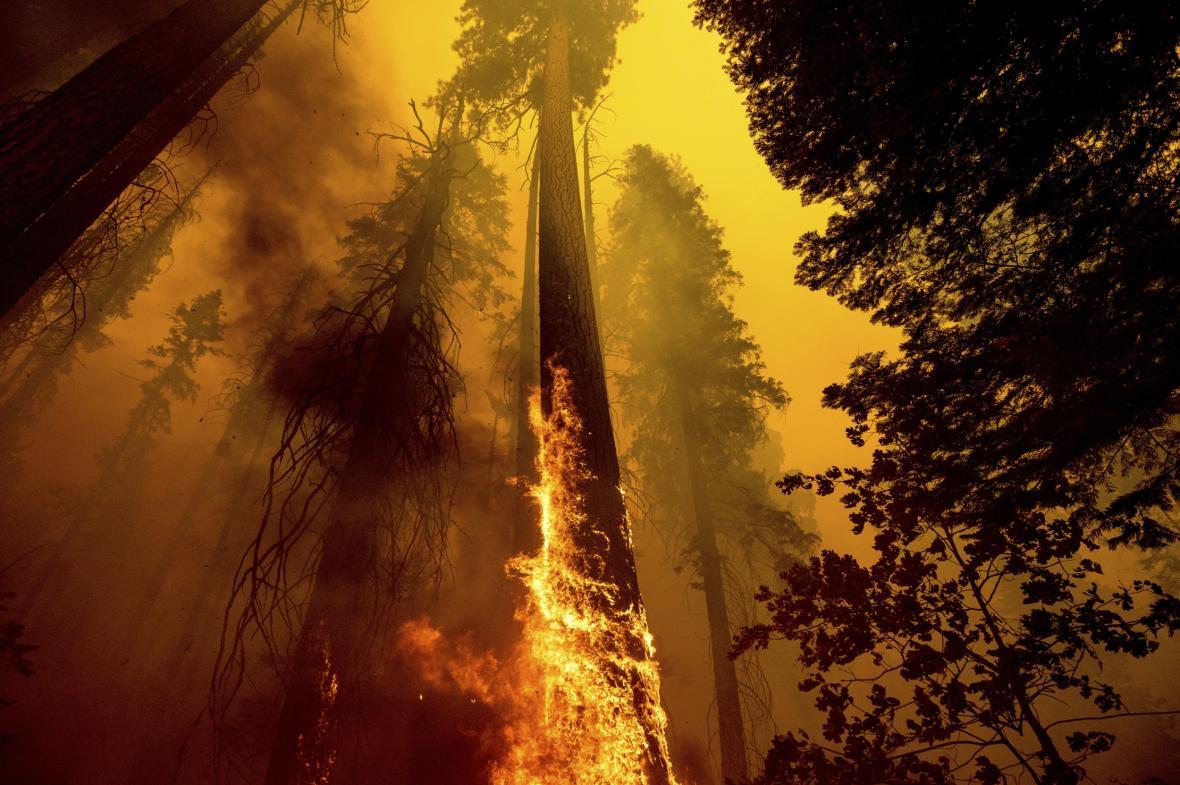 Hasiči zasahují v americkém Národním parku Sequoia. V ohrožení jsou stromy staré přes dva tisíc let. Mezi nimi si nachází i největší sekvojovec obrovský na světě, nazvaný Strom generála Shermana