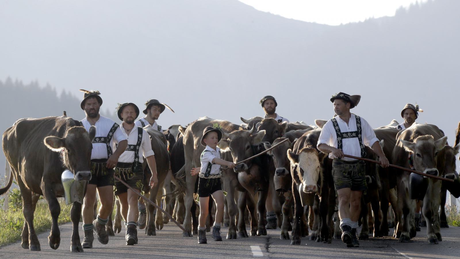 Návrat krav z alpských pastvin