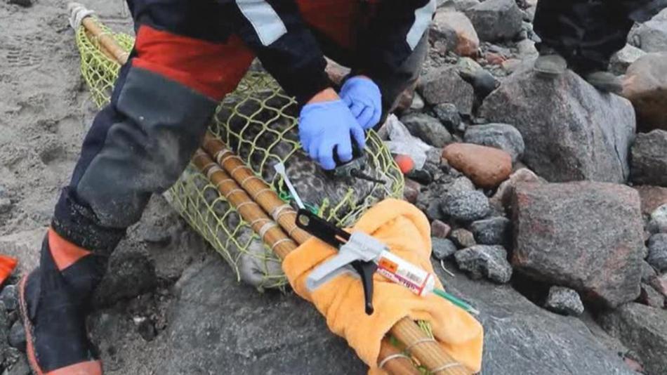 Vědci připevňují tuleňům zařízení na tělo speciálním lepidlem