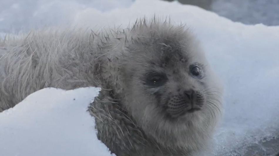 Mládě tuleně kroužkovaného