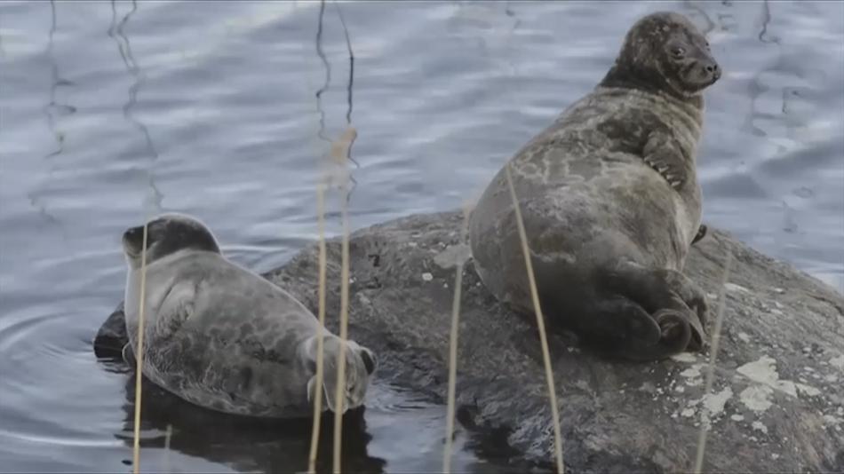 Tuleni kroužkovaní