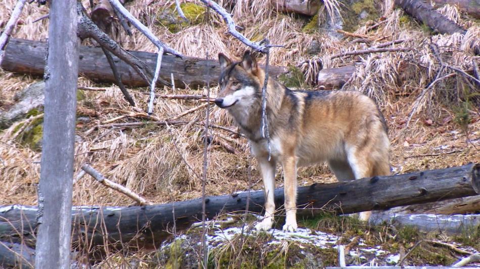 Vlk zachycený fotopastí