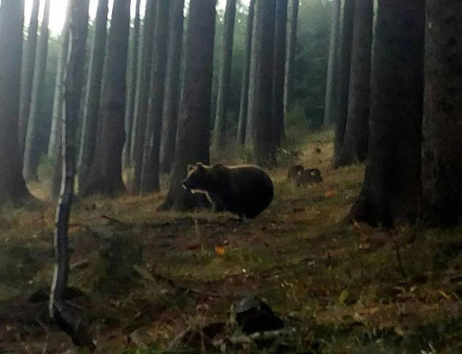 Medvěd v Beskydech